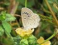 Zizina otis - Lesser Grass Blue - Begur Butterfly Survey.jpg