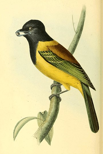 Zoological Illustrations Volume I Plate 37.jpg