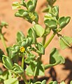 Zygophyllum eremeaum flower top.jpg