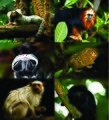 an introduction to the origins of golden marmosets or leontopithecus shrysomelas Unlike most editing & proofreading services, we edit for everything: grammar, spelling, punctuation, idea flow, sentence structure, & more get started now.