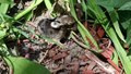 File:Baby Rabbits in nest natural setting 3.webm