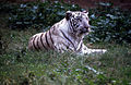 """White"" Tiger (Panthera tigris) (20282141882).jpg"