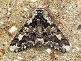 (1930) Oak Beauty (Biston strataria) (6790515126).jpg