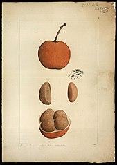 (Hippocratteaceae salacia)