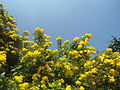 (Tecoma stans) yellow bell flowers at Tenneti Park 02.JPG