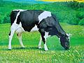 İnək-Holstein.jpg