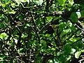 Šumski zviždak (Phylloscopus sibilatrix), Wood Warbler.jpg