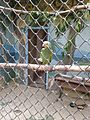 Венесуэльский амазон (Penza Zoo 2016).jpg