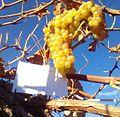 Виноград 1.jpg