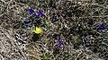 Горицвіт весняний і півник карликовий.jpg