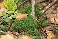 Звездочный мох. Лес около Княгинихи. Савинский р-н. Ивановская обл. Август 2013 - panoramio.jpg