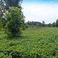 Поляна в лесу - panoramio.jpg