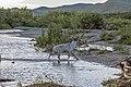 Полярный Урал, река Собь, олень.jpg