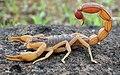 Скорпион (знак зодиака).jpg