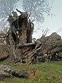 Старое дерево - panoramio (3).jpg