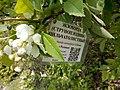 Струнноплодник пильчатолистный (экзохорда пильчатолистная) (2).jpg