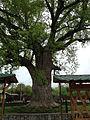 Тюльпанное дерево.jpg