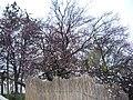 Цветущая алыча около матросского клуба. Севастополь. Крым. Март 2010 - panoramio.jpg