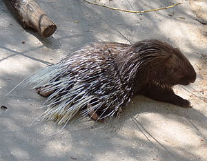 Porcupine - Old World porcupine