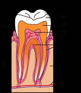 دندان انسان - ویکیپدیا، دانشنامهٔ آزاد
