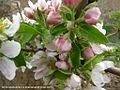 شکوفه های بهاری شهر خامنه - panoramio (4).jpg