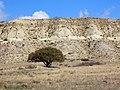 Საკმლის ხე, ვაშლოვანის სახელმწიფო ნაკრძალში.jpg