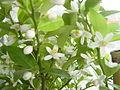 ヤマトタチバナの花2.JPG