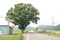 佐市のケヤキ.jpg