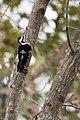 小啄木鳥 (32316767685).jpg