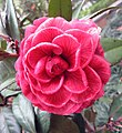 山茶花-完全重瓣型 Camellia japonica Formal Double Form -香港大埔海濱公園 Taipo Waterfront Park, Hong Kong- (14464860174).jpg