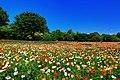 昭和記念公園 - panoramio (6).jpg