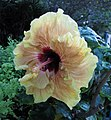 朱槿 Hibiscus rosa-sinensis 'Secrate Dreams' -新加坡濱海灣花園 Gardens by the Bay, Singapore- (24951544901).jpg
