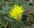 水含羞草 Neptunia oleracea -日本大阪鮮花競放館 Osaka Sakuya Konohana Kan, Japan- (42127320611).jpg