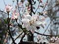 白花垂絲海棠 Malus halliana -香港花展 Hong Kong Flower Show- (9237375173).jpg