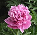 芍藥-桃花面 Paeonia lactiflora 'Peach-Blossom Face' -瀋陽植物園 Shenyang Botanical Garden, China- (12380582324).jpg