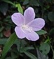 草木槿 Hibiscus lobatus -香港公園 Hong Kong Park- (28418773439).jpg