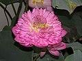 荷花-混種蓮 Nelumbo nucifera hybrid -香港公園 Hong Kong Park- (9207629084).jpg