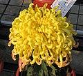 菊花-太平松風 Chrysanthemum morifolium 'Pine Wind' -中山小欖菊花會 Xiaolan Chrysanthemum Show, China- (11961616004).jpg