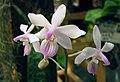 蝴蝶蘭屬 Phalaenopsis lindeni -香港沙田洋蘭展 Shatin Orchid Show, Hong Kong- (31369712131).jpg