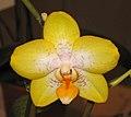 蝴蝶蘭 Phalaenopsis Kahurangi -香港沙田洋蘭展 Shatin Orchid Show, Hong Kong- (29300836071).jpg