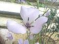 蝶花百合 Calochortus splendens -英格蘭 Wisley Gardens, England- (9240252832).jpg