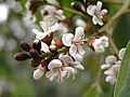 軟莢紅豆 Ormosia semicastrata -香港城門郊野公園 Shing Mun Country Park, Hong Kong- (9240256550).jpg