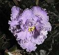 非洲紫羅蘭 Saintpaulia Ness Ruffled Skies -香港沙田紫羅蘭展 Shatin African Violet Show, Hong Kong- (9200965332).jpg
