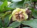 黃花雜交菟葵 Helleborus hybridus -英格蘭 Wisley Gardens, England- (9213351633).jpg
