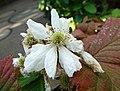 黑莓 Rubus fruticosus 'Thornless Evergreen' -新加坡濱海灣花園 Gardens by the Bay, Singapore- (9207617354).jpg