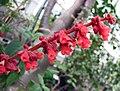 鼠尾草屬 Salvia confertifolia -比利時國家植物園 Belgium National Botanic Garden- (9204821233).jpg