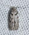 - 2311.99 – Gelechiidae sp. – Unidentified Gelechiid Moths (17522543491).jpg