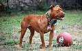 001 American Pit Bull Terrier.jpg