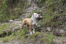 American Pit Bull Terrier Wikipedia
