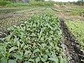 0152jfVegetable plantations Taal Pulilan Bulacanfvf 03.jpg